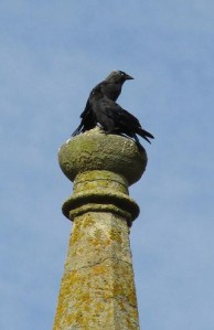 Jackdaws on spire