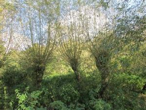 Three Willows